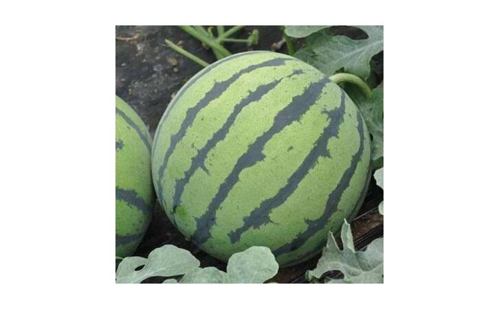 资阳西瓜苗育苗基地 代育早春西瓜苗-- 寿光瑞丰蔬菜种苗有限公司
